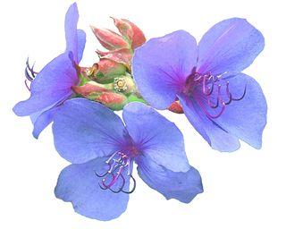 Special Blue Floret 8x10
