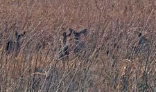Mule deerblog