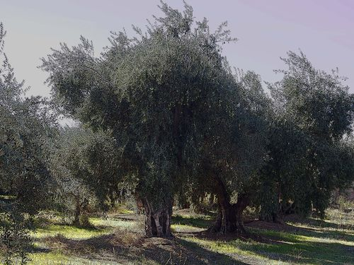 The Olive Grove for blog