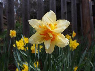 Daffodil ipiccy blog
