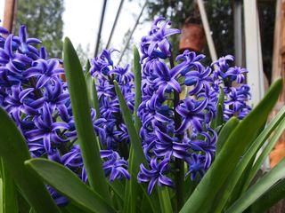 Hyacinths ipiccy blog
