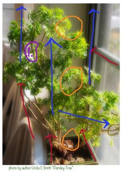 Parsley tree with lines