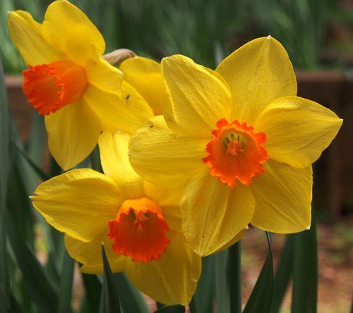 3 daffodils ipiccy